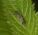 Woodland fly - Xylomya tenthredinoides