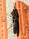 A fly that I should know!  ID, please. - Hermetia illucens
