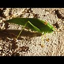 Green bug - Microcentrum californicum - male