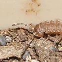 Millipede - Polydesmus