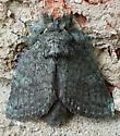 Heterocampa guttivitta (Saddled Prominent) - Heterocampa guttivitta