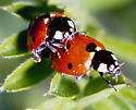Lady bugs/beetles - Coccinella septempunctata - male - female