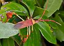 BugLeafFooted_Chondrocera laticornis - Chondrocera laticornis