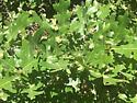 Gambel oak erineium - Aceria