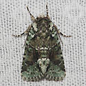 Laudable Arches Moth - Hodges#10411 - Lacinipolia explicata