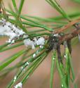 Mealy Bug? - Pineus