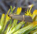 Lichen Moth - Cisthene barnesii