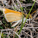 Unknown Skipper - Oarisma garita