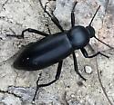 Unidentified Beetle - Eleodes gigantea