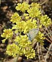 Ancilla Blue at Rocky Mountain National Park - Euphilotes ancilla
