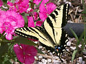 Butterfly - Papilio rutulus - male