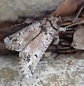 moth - Aon noctuiformis