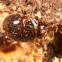 Slime mold beetle - Anisotoma