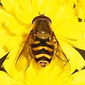 Syrphidae - Syrphus opinator - male