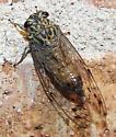 Cicada - Neocicada hieroglyphica