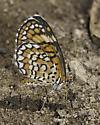 Butterflies were puddling along the trail - Microtia dymas