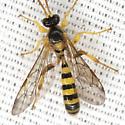 Ichneumon Wasp - Colpotrochia texana