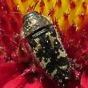 Black beetle with pale yellow markings - Acmaeodera mixta