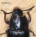 Carabidae ? - Neatus tenebrioides