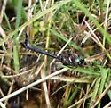 Ski-tipped Emerald - Somatochlora elongata - female
