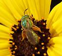 Metallic green bee (Agapostemon texanus)? - Agapostemon