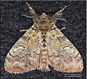 Moth - Orgyia