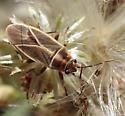 Ochrimnus mimulus (on Baccharis neglecta) - Ochrimnus mimulus