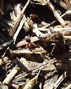 Black mite with red legs - Penthaleus major