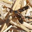bee fly, villa sp.  Poecilanthrax effrenus ? - Poecilanthrax effrenus