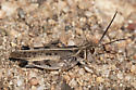 Blue-legged Grasshopper (Metator pardalinus) - Metator pardalinus - male