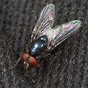 Metallic Blue Fly - Morellia podagrica - male