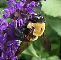 Eastern Carpenter Bee? - Xylocopa virginica - male