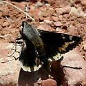 Moth ? - Megathymus yuccae