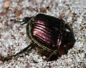 Scarab Beetle - Phanaeus igneus