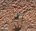 Cicindelidia rufiventris rufiventris?