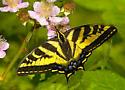 Swallowtail - Papilio rutulus - female