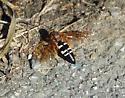 wasp - Sphecius speciosus