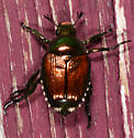 Popillia japonica - Japanese Beetle - Popillia japonica