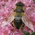 A fly or a bee (I think it is a fly) - Eristalis tenax