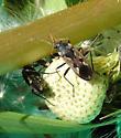 Lygaeid - Rhyparochromus vulgaris