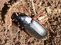 Another red-legged carabid - Harpalus rufipes