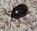 Bug - Sehirus cinctus