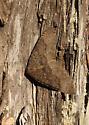 Geometer with wavy skirt? - Archirhoe indefinata