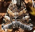 moth, owlet pos ? - Drasteria mirifica