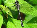 Dragonfly - Hylogomphus adelphus