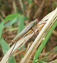 Black-legged Meadow Katydid - Orchelimum nigripes - female
