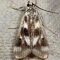 Polymorphic Pondweed Moth - Hodges#4759 - Parapoynx maculalis