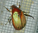 Texas SE Gulf Coast - Callistethus marginatus? - Callistethus marginatus