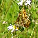 great spangled or aphrodite fritillary? - Speyeria zerene