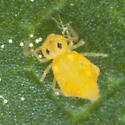 Globular Springtail IMG_0055 - Bourletiella arvalis
